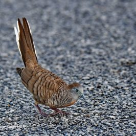 Zebra Dove – courtship posture
