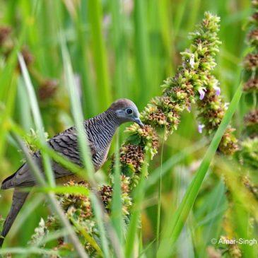 Zebra Dove  – unusual feeding behaviour
