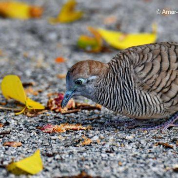 Zebra Dove feeding on Ficus benjamina fruit/seeds