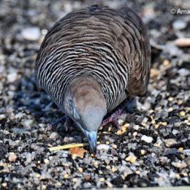 Zebra Dove feeding on grain/ lentil