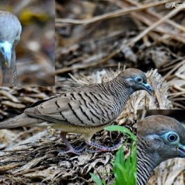 Zebra Dove feeding on Palm Oil fruit?