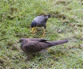 Feeding Spotted Dove: 21. Javan Myna aggression