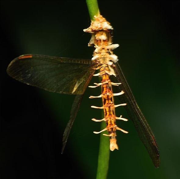 Dragonfly-cordyceps [JWee]