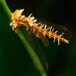 Dragonfly infected with Cordyceps fungus (<em>Ophiocordyceps ?odonatae</em>)