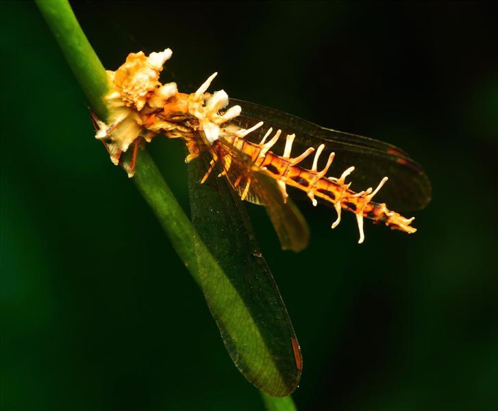 dragonfly-cordyceps-jwee
