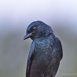 Birding in Taiwan: 13. Black Drongo