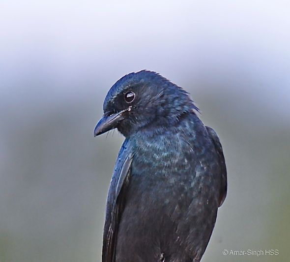 Birding in Taiwan: 13. Black Drongo