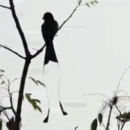 The call of the Greater Racket-tailed Drongo