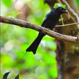 Greater Racket-tailed Drongo caught a cicada