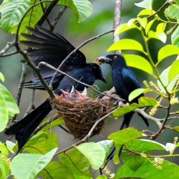 Greater Racket-tailed Drongo feeding chicks