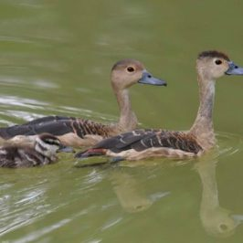 Lesser Whistling-ducks… and then there were none