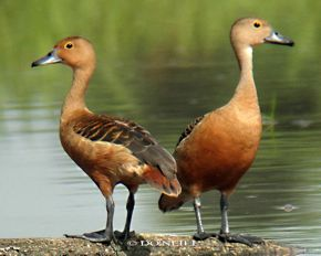 © Lesser Whistling Ducks –The Illusionists