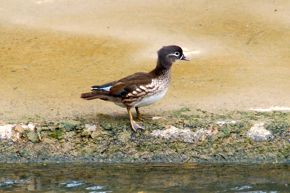 Mandarin Duck sighted by a canal