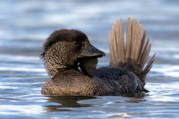 Courtship dance of the Musk Duck