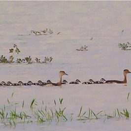 Lesser Whistling-ducklings all in a row