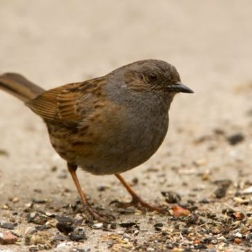 Sex and the Birds: 10. Dunnock's mixed bag of breeding systems