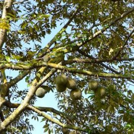 Animals that visit the durian tree, <em>Durio zibethinus</em>