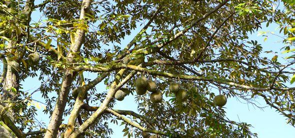 Animals that visit the durian tree, Durio zibethinus