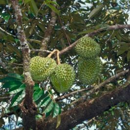 <em>Durio zibethinus</em>, the durian tree