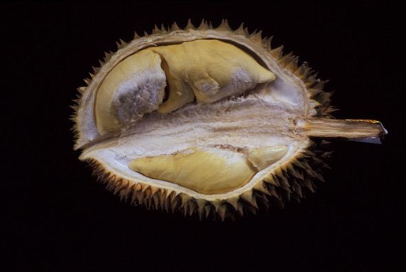 Durian fruit forced open to expose seeds.