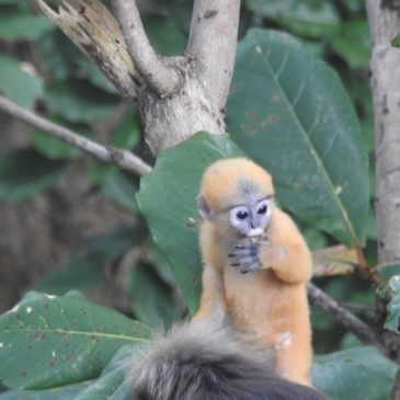 Dusky Leaf Monkey and a mother's protective instinct
