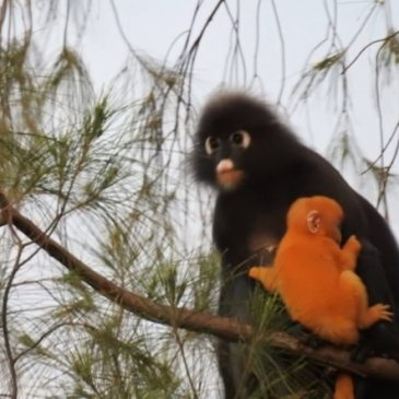 Dusky Leaf Monkey with young