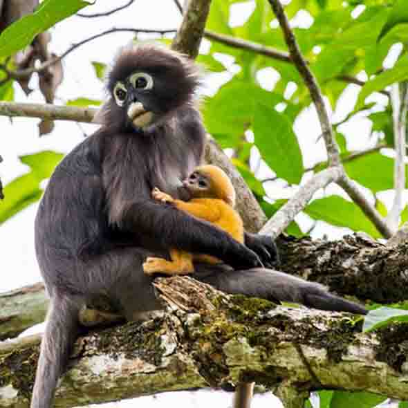 Dusky Leaf Monkey suckling baby 9Photo credit: Chong Soonseng)
