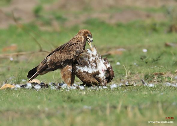 Cannibalism in Steppe/Tawny Eagle?