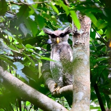 Sighting of a Barred Eagle-owl