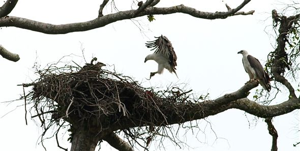 eagle nest milf women The resilient birds quickly built a nest of necessity in a nearby tree, and the  female laid her third and last egg of 2017 there the single eaglet.
