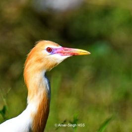 Cattle Egret – breeding plumage