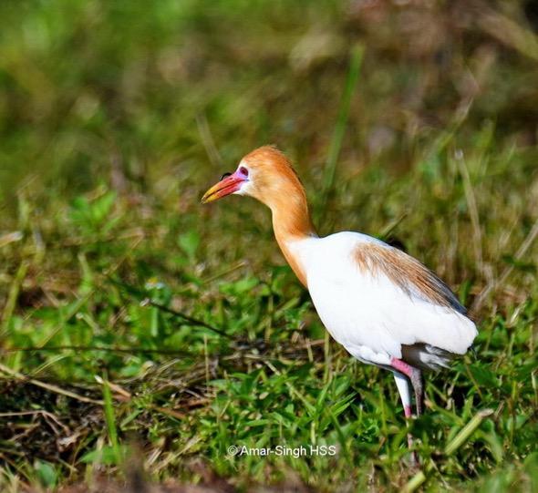 EgretC-breed pl [AmarSingh] 2