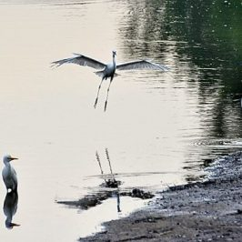 Little Egrets in combat