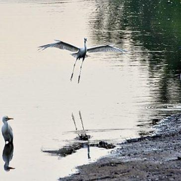 Little Egrets in combat