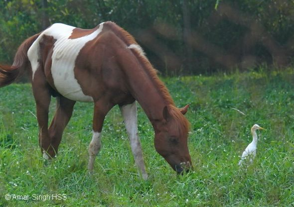 Cattle Egret's association with a horse