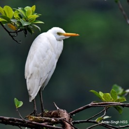 Cattle Egret – First year