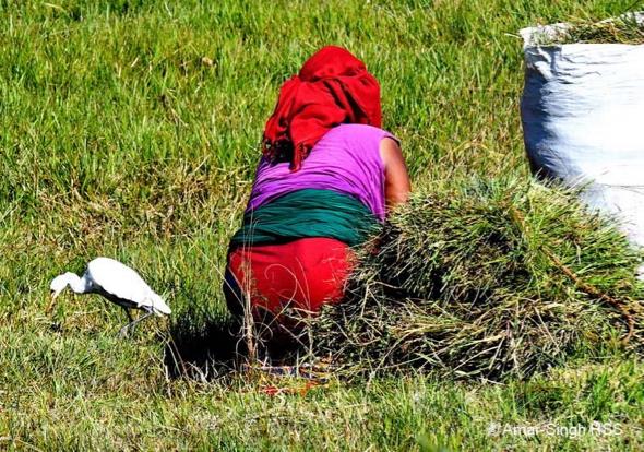 EgretCattle-grass cutter [AmarSingh]