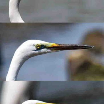 Great Egret – breeding plumage