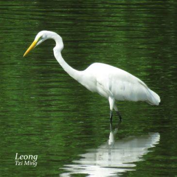 Great Egret – Stalking and Striking