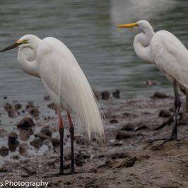 Breeding Plumage of the Little Egret and Great Egret with a dark history
