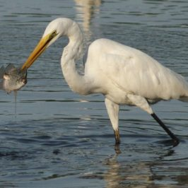 Great Egret rejecting freshly caught prey
