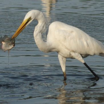 Great Egret rejecting freshly caught prey