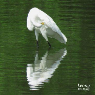 Great Egret – Preening
