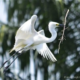Intermediate Egret breeding in Peninsular Malaysia [I]