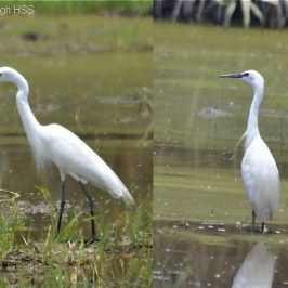 Intermediate Egret breeding in Peninsular Malaysia [II]