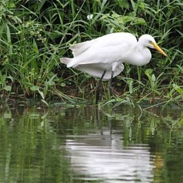 Intermediate Egret with odd looking wings