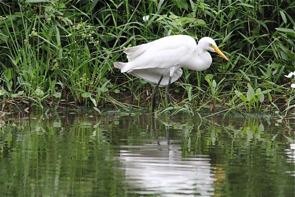 Intermediate Egret with odd looking wings