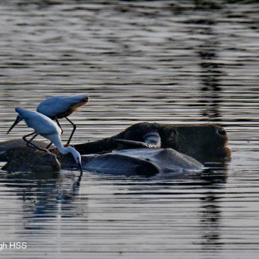 New fishing technique for Little Egret