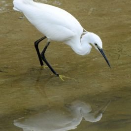 LITTLE EGRET DEFAECATION