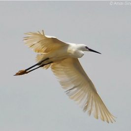 Little Egret breeding in Peninsular Malaysia